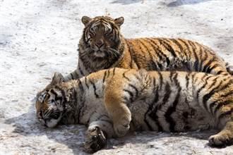 百獸之王霸氣盡失 趁幼崽不在偷補眠 睡到併軌秒變大貓