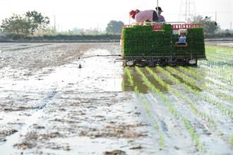 缺水影響灌溉與產量? 主計總處:3月米價創5年多來新高