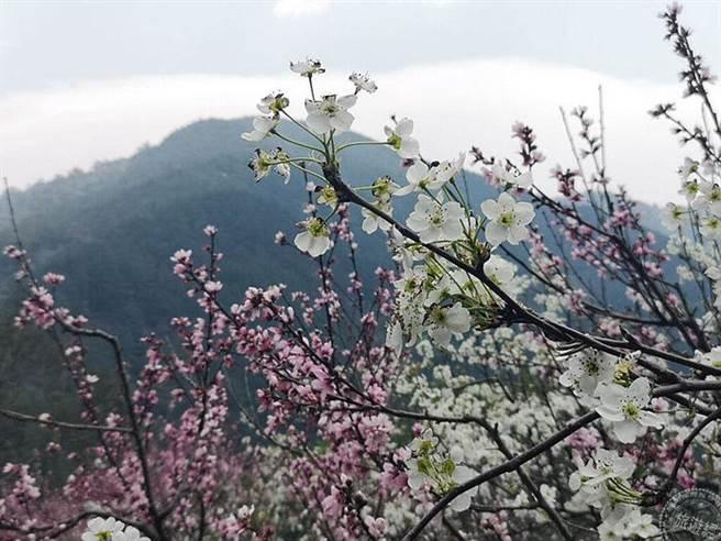 往武陵山莊沿途桃花等紅白花朵也不吝展美(攝影:洪書瑱)