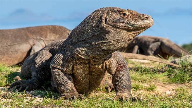 泰國某超市近日忽然闖入一隻紅樹巨蜥,嚇壞現場民眾。圖片為示意圖。(圖/shutterstock)