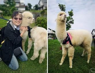宜蘭綠舞慶三週年 「水豚」、「羊駝」、「狐獴」加入陣容攻佔人心