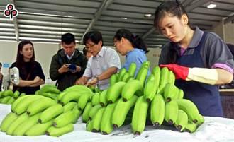 香蕉價崩疑盤商壓低價格 農糧署證實:已送公平會查處