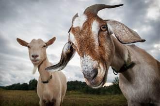 农庄出现人面羊仅活10分钟 居民一看惊呆:祖先转世