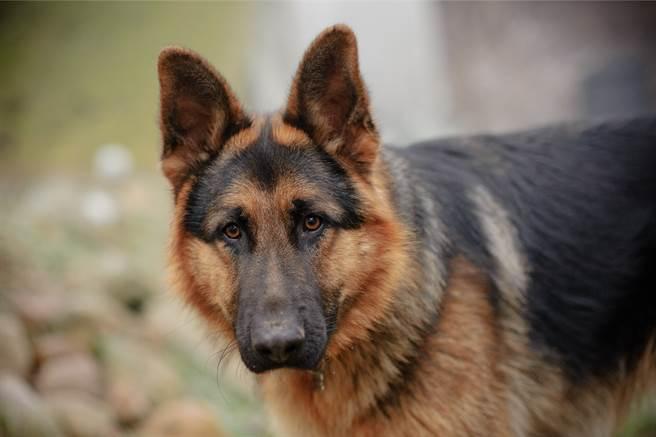 德國牧羊犬「糯米」曾擔任過警犬,聰明的牠經常幫小主人躲過被罵的命運,日前小主人不寫作業偷打電動,而牠還在門口負責把風,模樣看起來非常可愛。(示意圖/達志影像)
