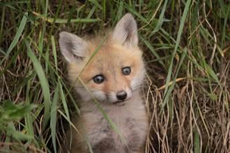 後院傳出微弱哭聲 驚現狐狸寶寶淚眼求助 像撒嬌小狗萌翻
