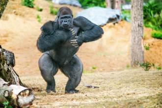 誤會大了 大猩猩搥胸不是想開戰 研究結果顛覆印象