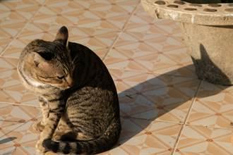 虎斑貓影子沒同步網嚇傻 細看驚覺被騙:超強模仿術
