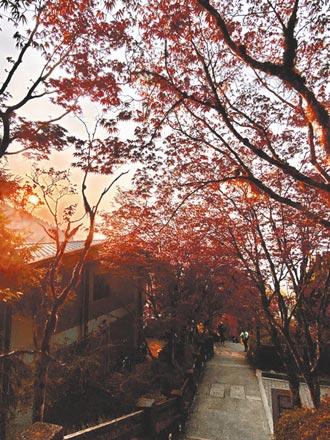 太平山莊紫葉槭 火紅綻放中
