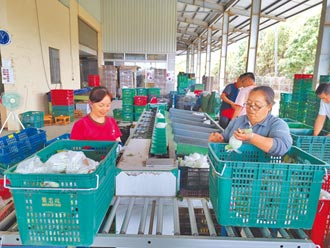 台南南化農會收購芭樂 最多日達5000台斤