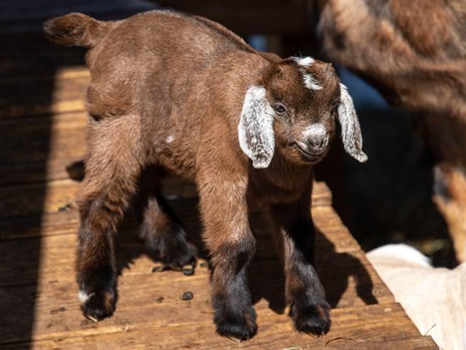 小羊看到食物興奮不已,像被快轉了一樣,看到奶瓶就不斷狂吸。(示意圖/達志影像)