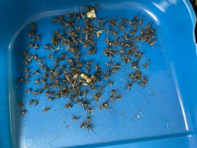 一位網友不堪蚊子困擾,決定換上光觸媒捕蚊燈,3天後貼出「蚊子屍海照」讓網友全驚呆。(摘自爆廢1公社)