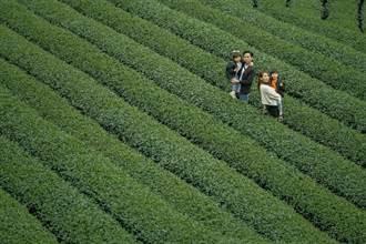 新北坪林4大旅遊私房秘境 百年茶莊、原始森林、採茶DIY
