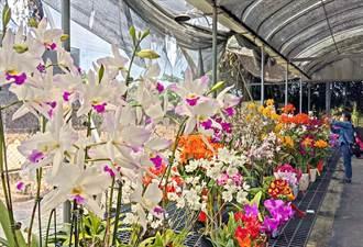愛蘭人士別錯過 九如北玄宮台灣蘭花節1200盆蘭花開展