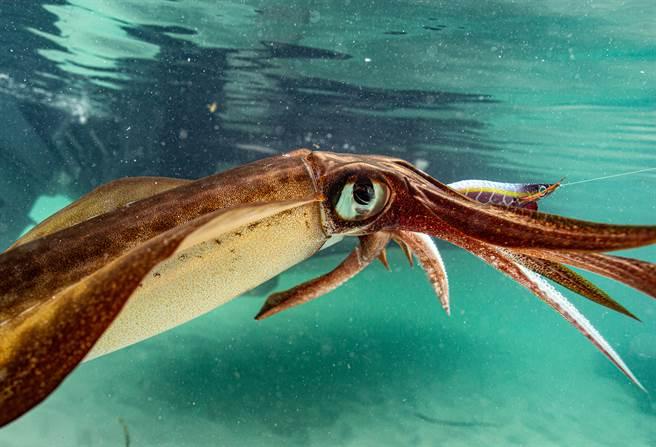 近日在新瀉市沿海有民眾發現一隻長達2.4公尺的大王烏賊屍體。(示意圖/達志影像)