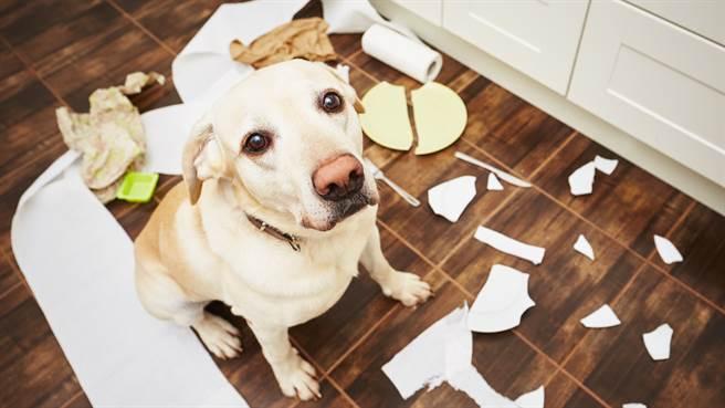 愛爾蘭網紅近日在IG上分享愛犬做壞事的影片,吸引百萬人瘋傳。圖片為示意圖。(圖/shutterstock)