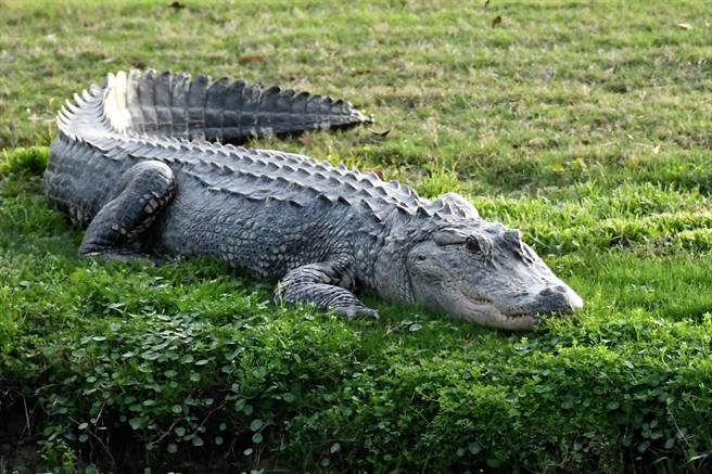 獵人將捕到的鱷魚帶去剖腹,竟在牠的肚子中發現5個狗牌、子彈殼和大量的烏龜殼。(示意圖/達志影像)