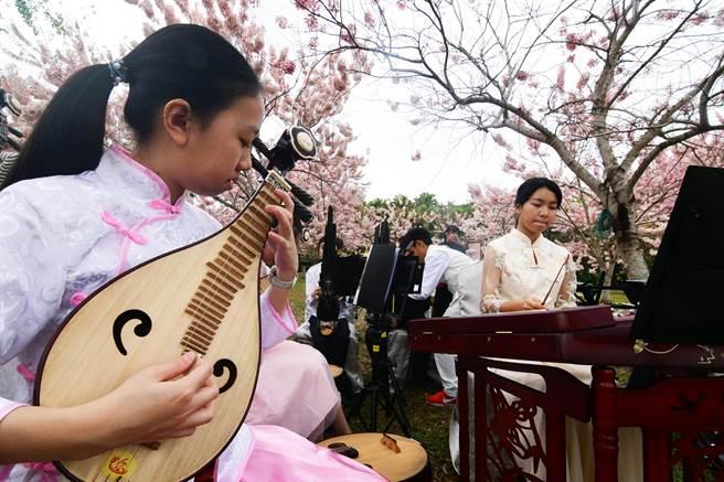 有平地櫻花之稱的花旗木已開好開滿,花蓮明義國小國樂班在粉紅色的林間演奏,相得益彰。(莊哲權攝)
