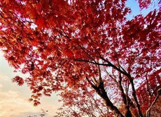 太平山賞楓紅 紫葉槭著紅妝