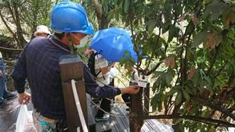 防治荔枝椿象 中市觀旅局施放6萬隻平腹小蜂蟲卵
