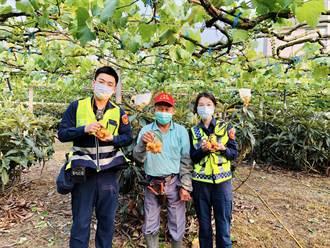 新社枇杷進入採收期 東勢警加強護農