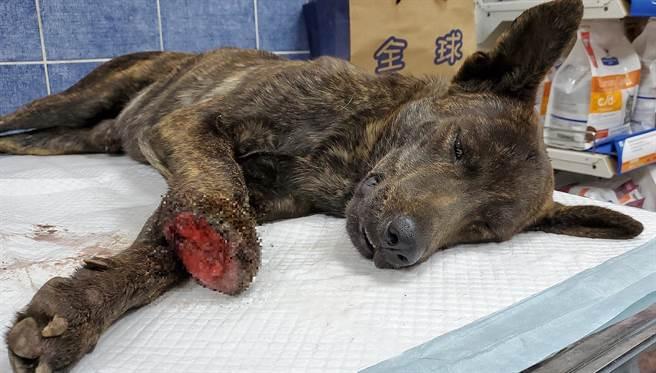 路竹一隻流浪狗疑似遭利器斷掌,台灣動物緊急救援小組將狗送醫救治。(台灣動物緊急救援小組提供/林瑞益高雄傳真)