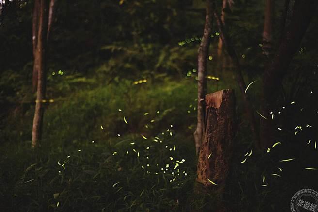 虎山溪溝螢火蟲(圖:臺北市大地工程處提供)