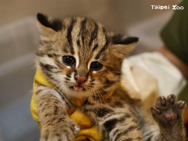 石虎三胞胎的小妹「貓控」。(圖/臺北市立動物園提供)