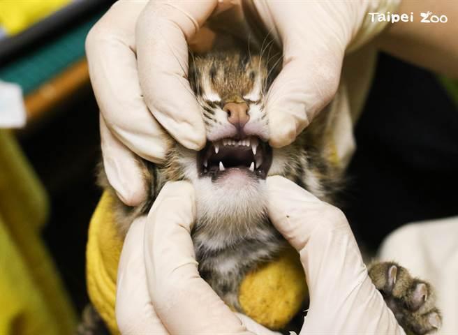 石虎寶寶們在媽媽的照顧下健康成長,最近也長牙囉!(圖/臺北市立動物園提供)