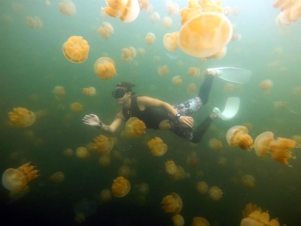帛琉特有的金色水母湖,是遊客到帛琉的熱門浮潛景點。(雄獅旅遊提供/陳祐誠傳真)