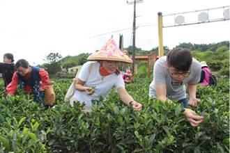 三峽綠茶季品好茶 客家文化園區邀民眾體驗採茶