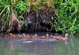 花嘴鴨媽媽1打11 鳥友笑稱「花媽好忙」
