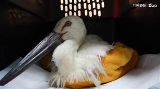 東方白鸛身體瘦弱亡 動物園照X光驚見:胃裡有橡膠墊片