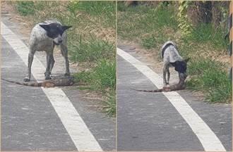 路邊驚見「屠龍高手」 綠鬣蜥慘淪嘴邊肉