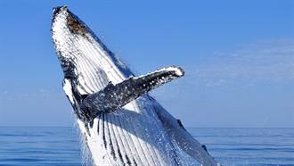 出海賞鯨巧遇捕食秀 他「撞飛險遭鯨吞」驚悚畫面曝光