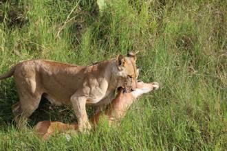 獅子捕獵突甩尾 超強衝擊力撞遊園車 遊客坐搖滾區嚇瘋