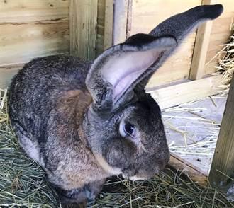 129cm世界最大巨無霸兔子被偷了 前花花女郎氣炸懸賞8萬