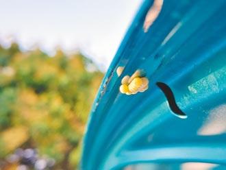 荔枝椿象挑綠色汽車產卵 巧合?