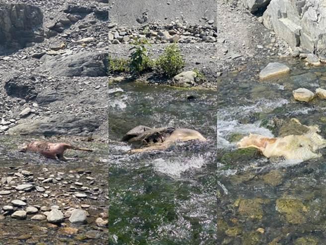 有人发现该处溪流上竟出现8只死亡的水鹿,且每只水鹿皆没有头部,疑似遭猎人猎杀后取头,尸体就被丢在溪流上;而邻近的大石上还有喷溪写上「到此一游」引发眾怒。(图/翻摄自脸书台湾温泉探勘网)