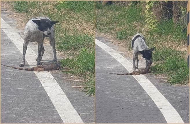 有網友在臉書社團《爆廢1公社》分享照片,只見綠鬣蜥淪為狗兒的嘴邊肉。(照片來源:臉書社團《爆廢1公社》)