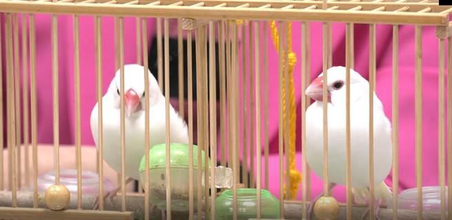 鳥卦占卜準不準,文鳥成為靈鳥訓練過程辛苦。(攝影/吳振煌)
