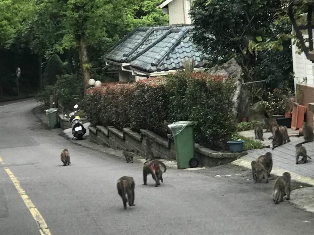 台灣彌猴出沒在新店近山的社區內。(新北市動保處提供)