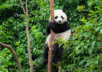 野生貓熊為求愛樹上糾纏打鬥 高難度姿勢激戰3小時
