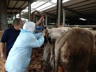 桃園5800頭牛3天內全數接種疫苗 蘆竹一飼養戶優先注射