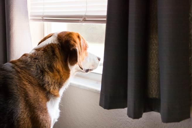 圖茲不能出去散步時,就會坐在窗邊看風景,日前主人將百葉窗放下,導致牠無法看向屋外,圖茲竟將百葉窗咬出一個洞。(示意圖/達志影像)