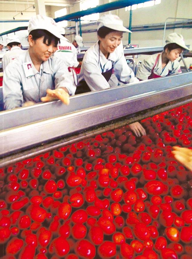 日本「番茄醬之王」可果美已停止進口中國新疆的番茄。圖為大陸女工挑選番茄的畫面。(新華社)