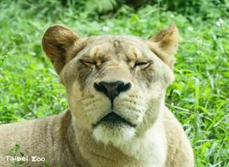 閉園前常聽到獅吼聲卻不見本尊 動物園揭超萌玄機