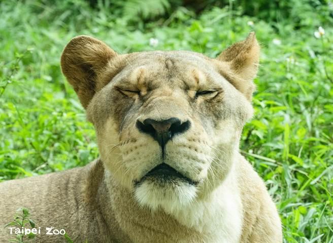 臺北市立動物接近黃昏關園前,還能聽到渾厚的吼叫聲,其實是非洲獅在撒嬌的聲音。(圖/臺北市立動物提供)
