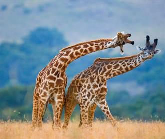 長頸鹿怎麼吃草? 7秒開合跳畫面震驚千萬人