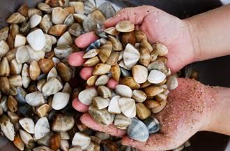 走向大海 金門海灘肥美花蛤吸引人潮