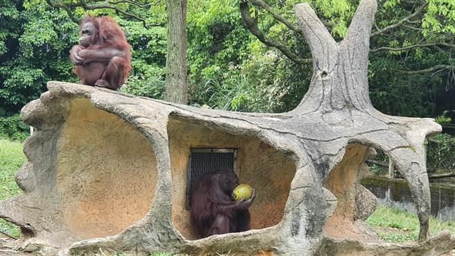 六福村主題遊樂園具有15種猴類,紅毛猩猩個有個性。(六福村提供/莊旻靜新竹傳真)
